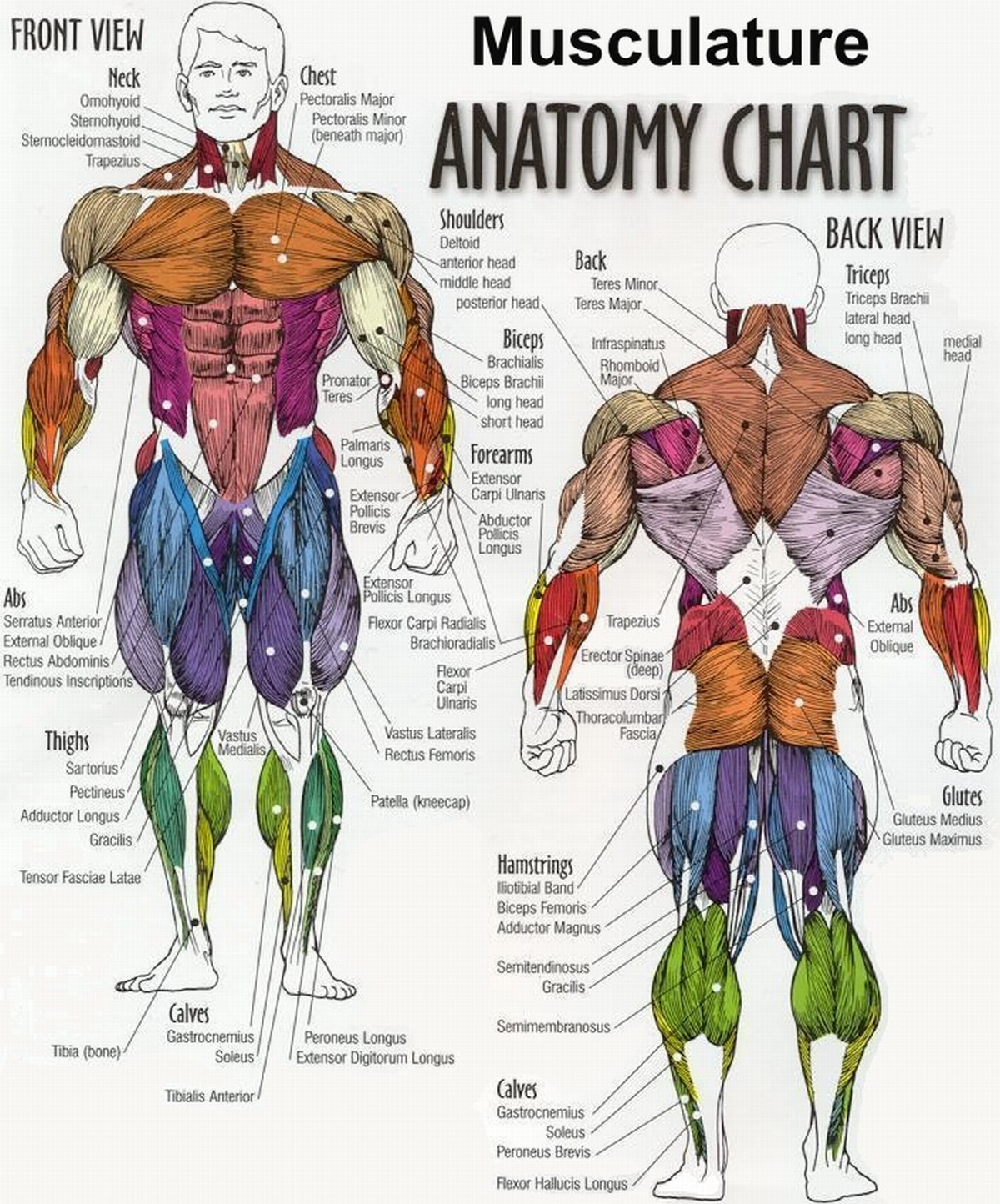 Body Muscle Anatomy Chart